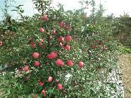 盆栽苹vwin000